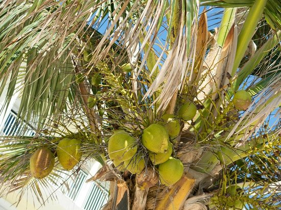 Wyndham Reef Resort : Watch for falling coconuts