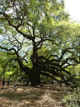 Angel Oak Tree : great piece of nature