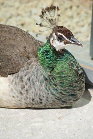 Castillo de la Concepción: A few peacocks have full roaming power