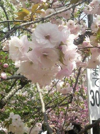 Japan Mint: 八重桜