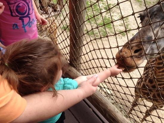 Cincinnati Zoo & Botanical Garden : feeding the giraffes is loads of fun !