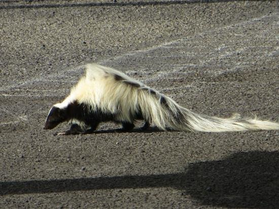 Lyndon B. Johnson State Park & Historic Site: Even the skunks in Texas have big hair!