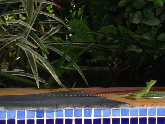 Blue River Resort & Hot Springs : The iguana was out everyday