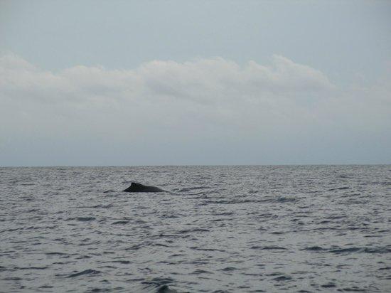 Kauai Sea Rider Snorkel & Whale Watching Tours: Whale