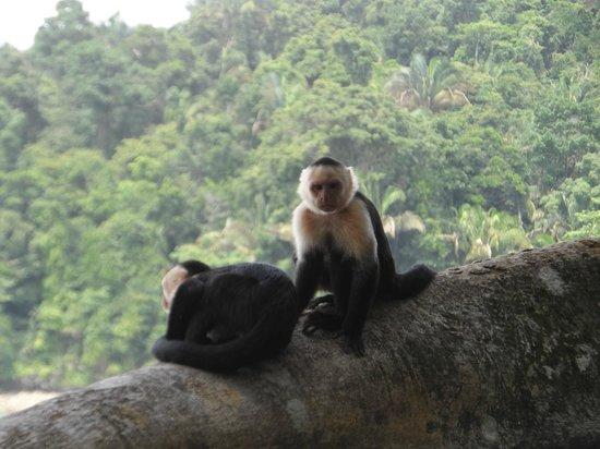 Playa Manuel Antonio : Monos en Parque Manuel Antonio