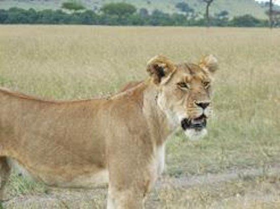 Kilima Camp : Lionne