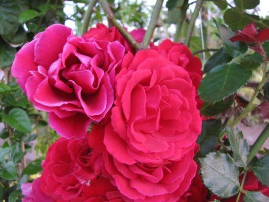 Miracle Resort Hotel: Множество красивых роз!