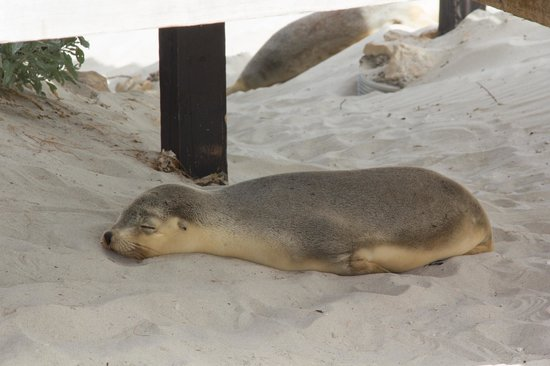 Seal Bay Conservation Park : pup taking a nap