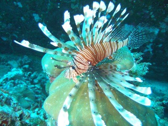 Veligandu Island Resort & Spa: Lion Fish