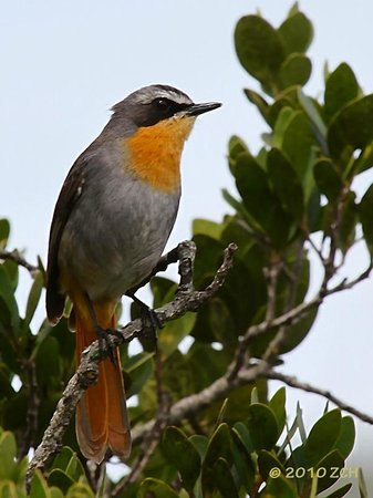 Brackenhill Lodge: This Cape Robin hops around near reception