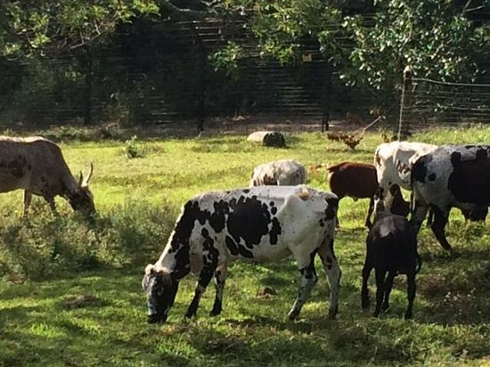 Seaforth Farm B&B : Nguni cattle