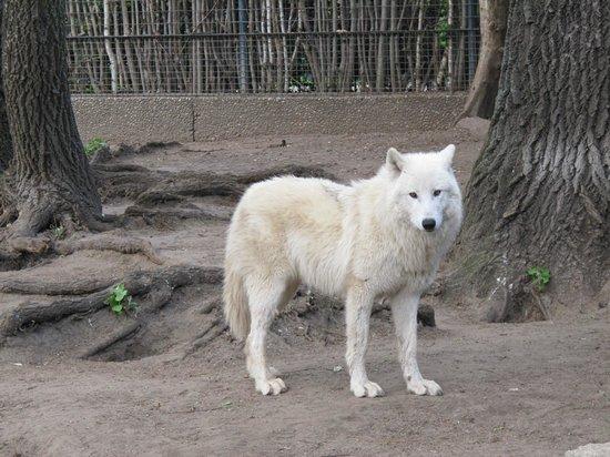 Zoologischer Garten (Berlin Zoo): Artic Wolf