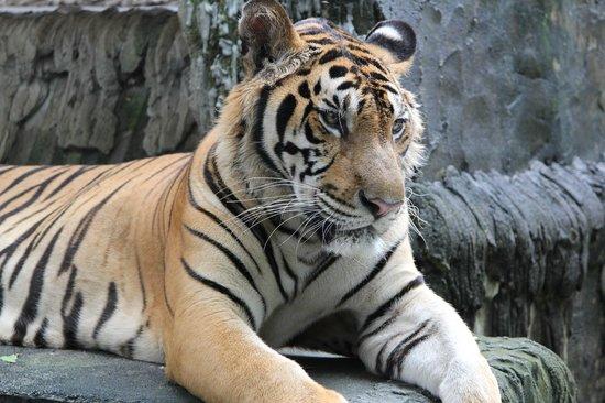 Phuket Zoo: Царь зверей