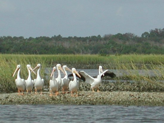 Guana Tolomato Matanzas National Estuarine Research Reserve: White pelicans at the GTM Research Reserve