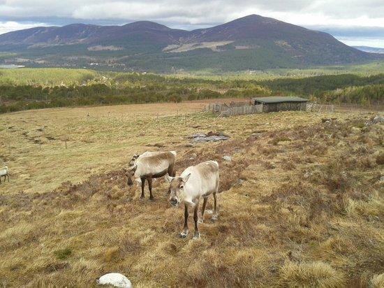 Cairngorm Reindeer Herd : Renos y paisaje