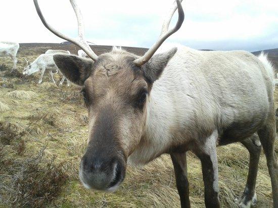 Cairngorm Reindeer Herd : Reno curioseando