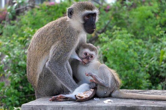 Leisure Lodge Beach and Golf Resort: rodziny małp