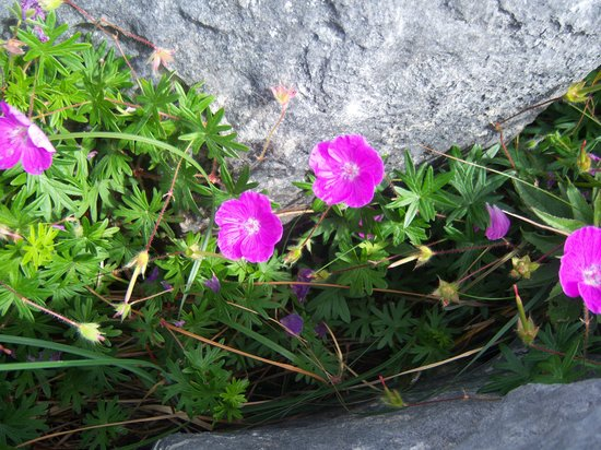Aira Lodge B&B: Burren flowers