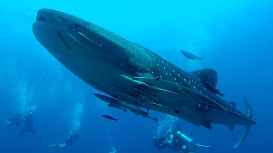 Wicked Diving Khao Lak: Whale Shark