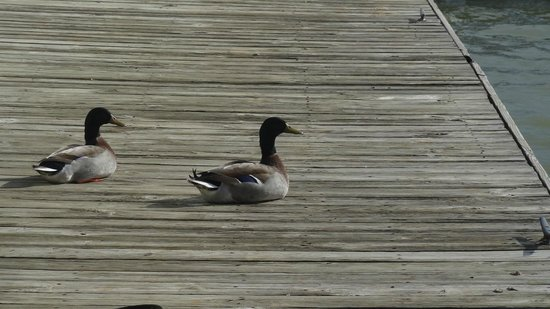 Grapevine Lake: More Ducks