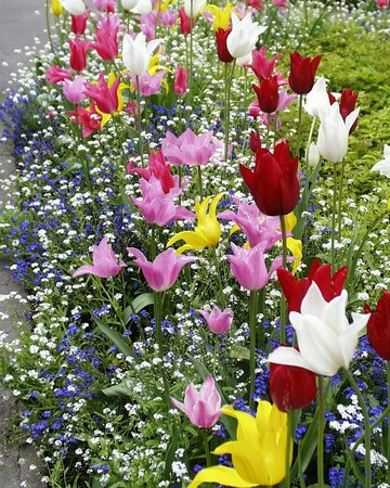 The Butchart Gardens : Tulips in Bloom