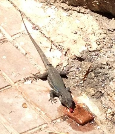 Barcelo Santiago : Local lizard