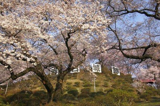 Kasuga Park: 桜の頃 朝の公園