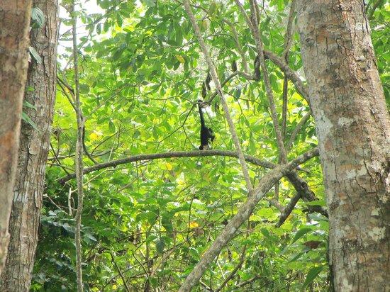 Cahuita National Park: Monos cara blancas , habia varios saltando