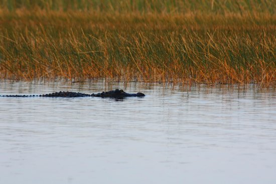 Sawgrass Recreation Park: Gator in the distance