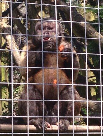 The Monkey Sanctuary : Enjoying a delicious carrot