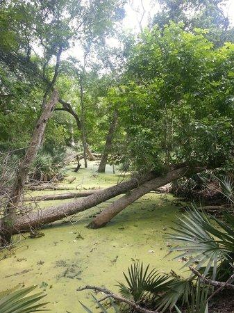 Palmetto State Park: Swamp and Palmettos