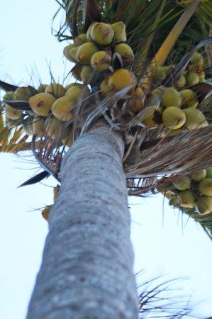 Paradise Cove Beach Resort: Coconut tree