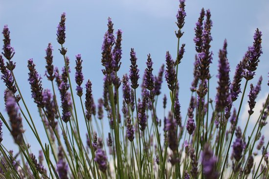 Le Mas Destonge: Beautiful lavender in bloom!!!!