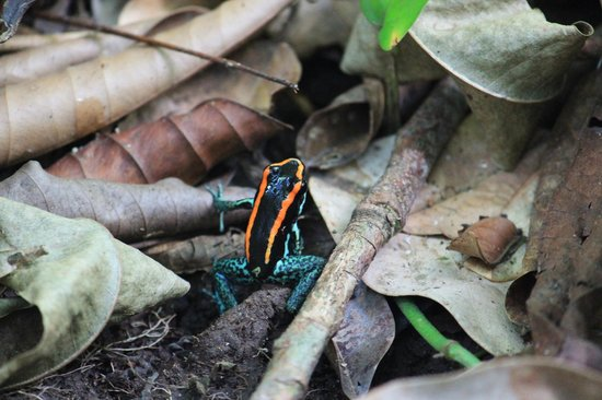 Corcovado National Park : Golfo Dulce Dart Frog
