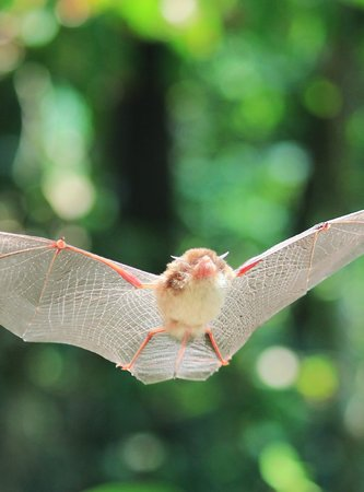 Carate, Costa Rica: Spix Disc Wing bat