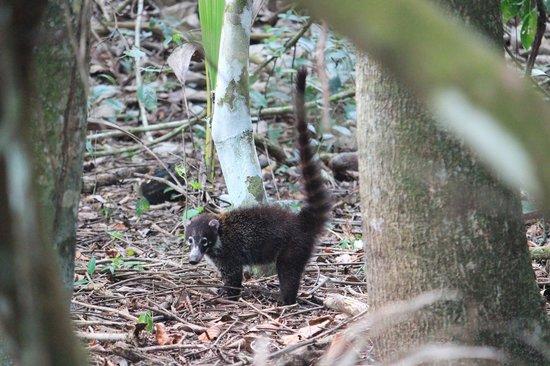 Corcovado National Park: Coati