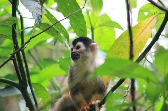 Corcovado National Park: Squirrel Monkey