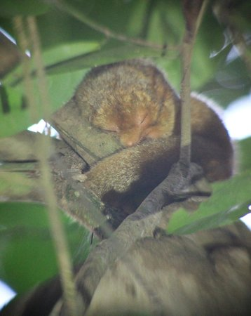 Carate, Costa Rica: Silky Anteater