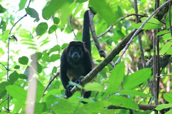 Corcovado National Park: Howler monkey