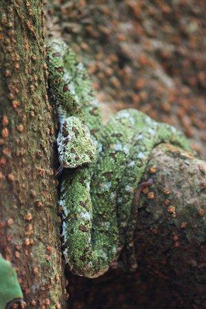 Corcovado National Park: Eyelash Pit Viper