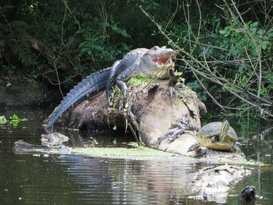 Canoe Escape: Alligator sharing a log