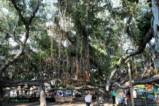 BEST WESTERN Pioneer Inn: Banyan tree outside your window
