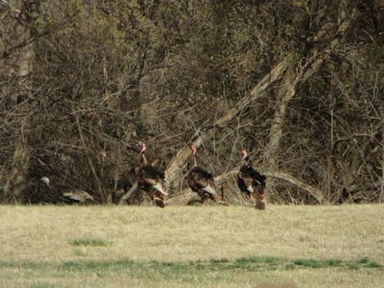 Fort Larned National Historic Site: Fort Larned Turkeys