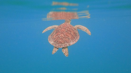 "Culebra Eco Tours: See Turtle ""Carey"""