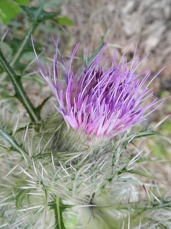 Ocala National Forest: Thistle