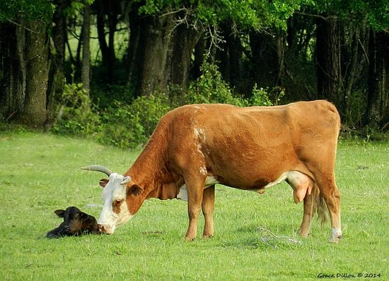 Ocala National Forest: New Born Calf Along the Road