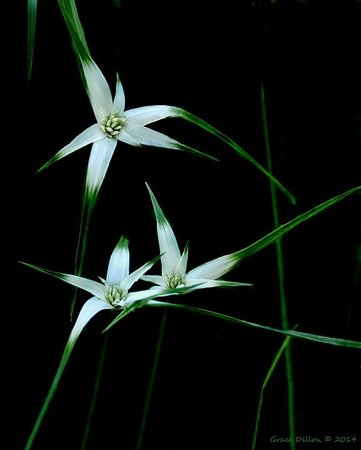 Ocala National Forest: Beautiful Star Rush