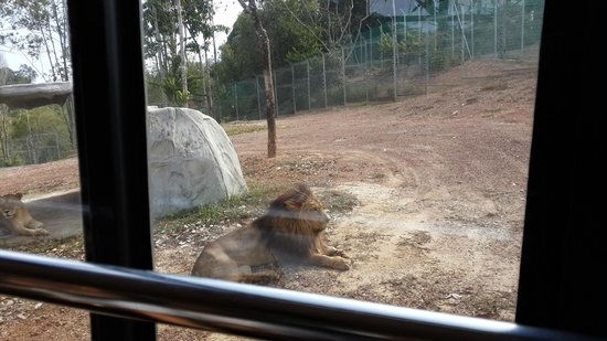 Bukit Gambang Resort City: Lion area - Savannah Wild park