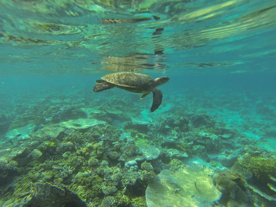 W Maldives: Resident turtles are not shy