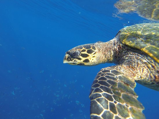 W Maldives: The resident turtle
